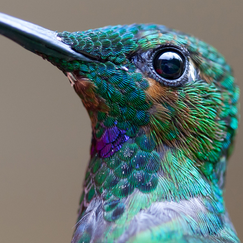 hummingbird extreme close up
