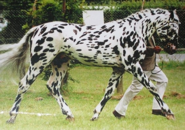 Tiger horse breed - photo#28