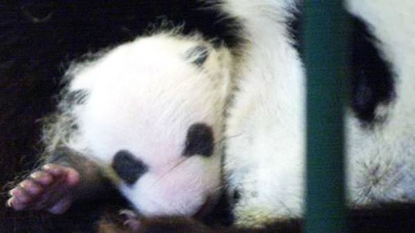 panda faked pregnancy