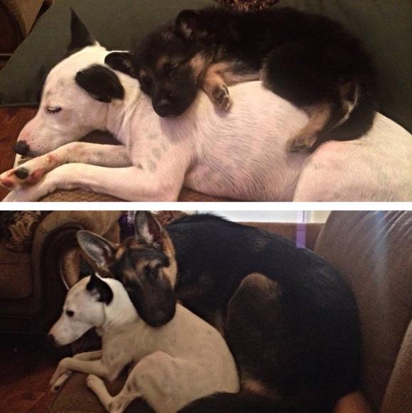 dog sleeps on dogs back