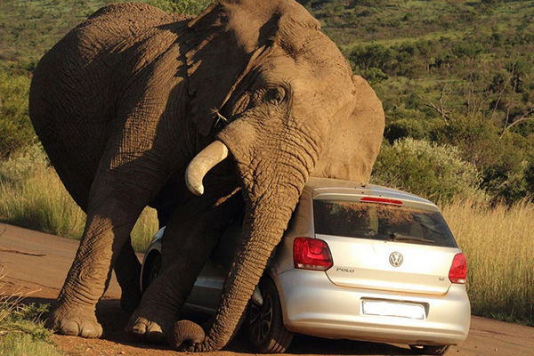 elephant uses car to scratch itch