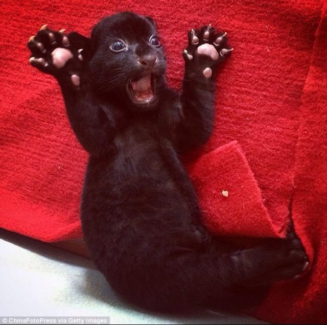 startled rare black tiger cub