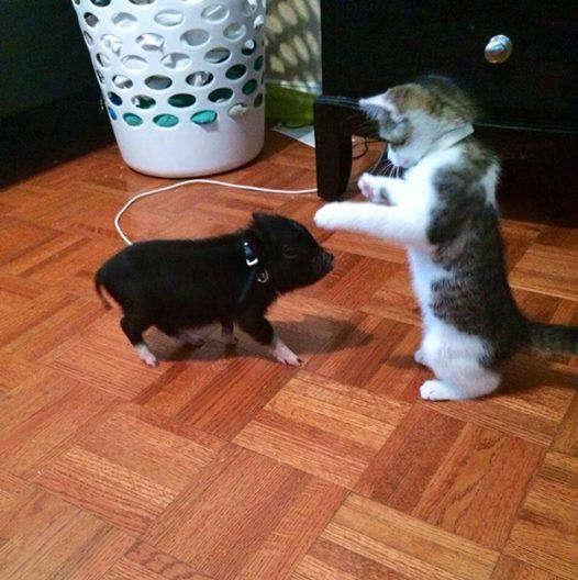 cat meets pig