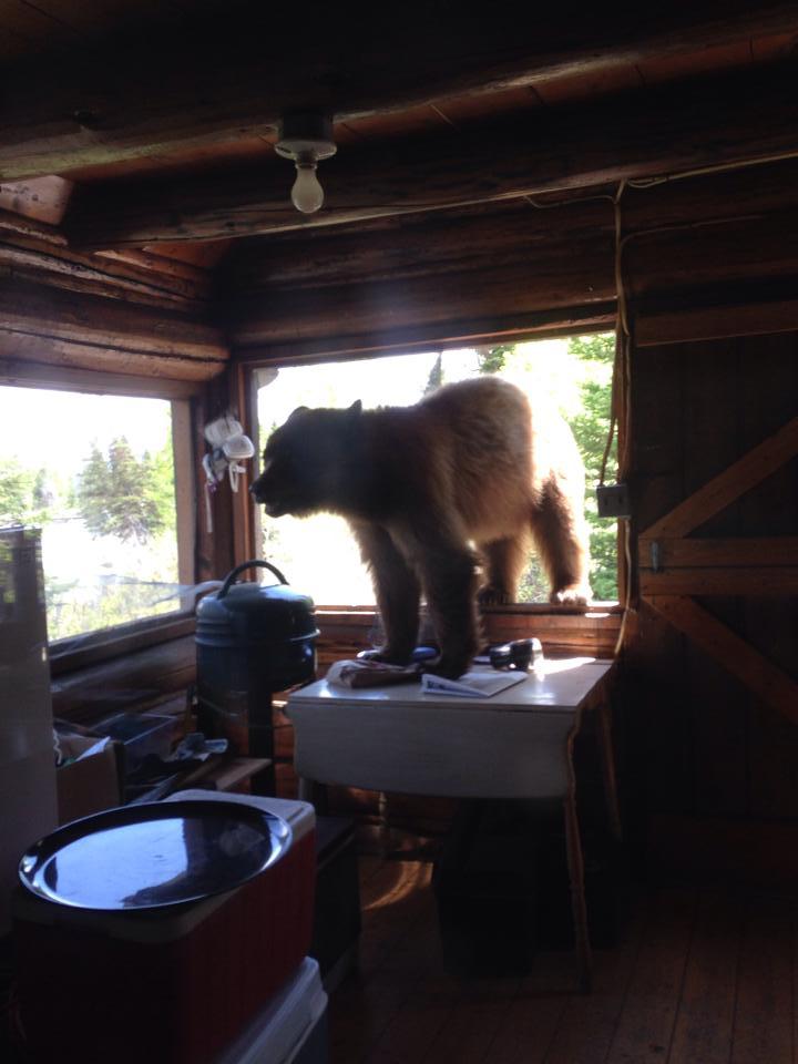 bear breaks into cabin