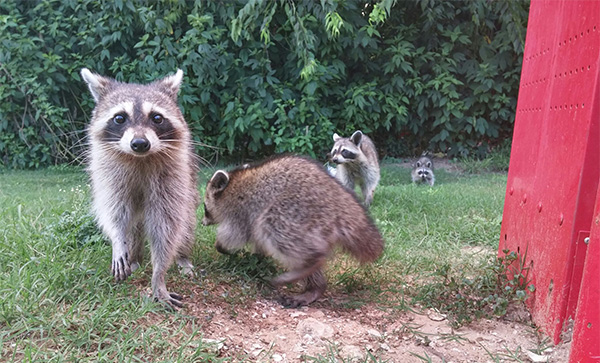 raccoon family behind gas station