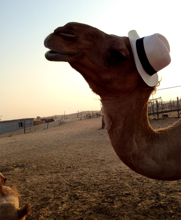 hat on camel