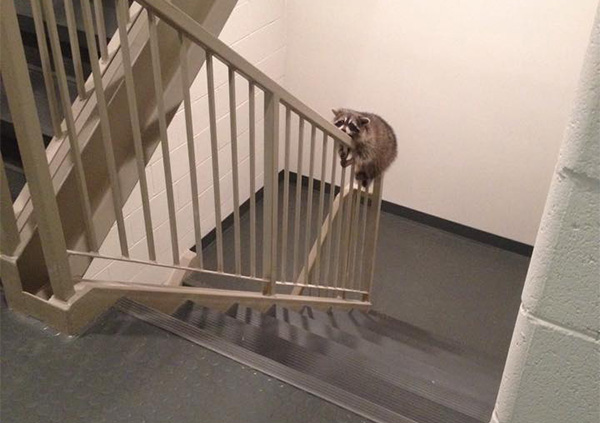 raccoon in the apartment