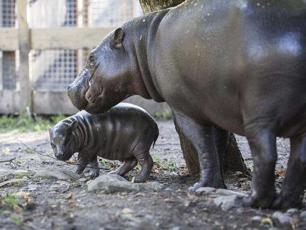 cutest baby hippo