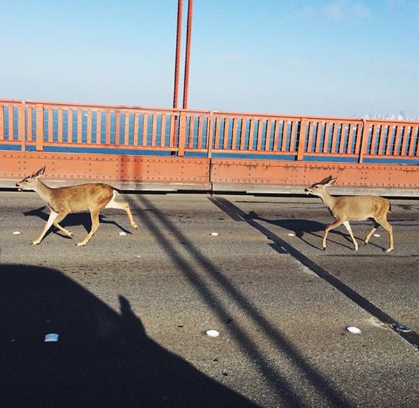 deer stop traffic on bridge
