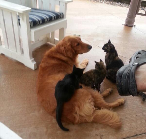 golden retriever with kittens