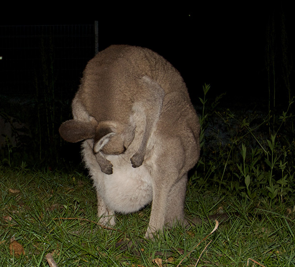 woman saves baby kangaroo