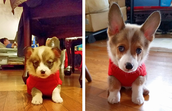 dog in sweater as puppy and adult