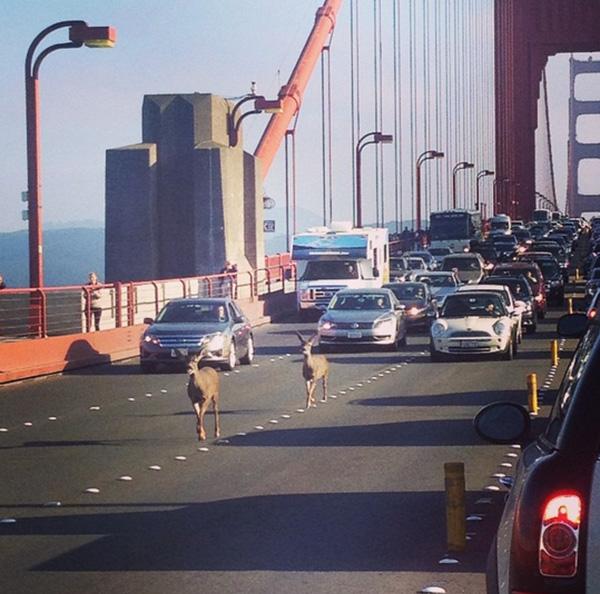 deer rush hour traffic