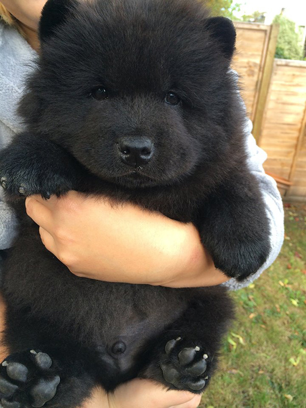 tiny bear dog