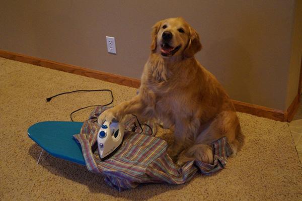 dog ironing