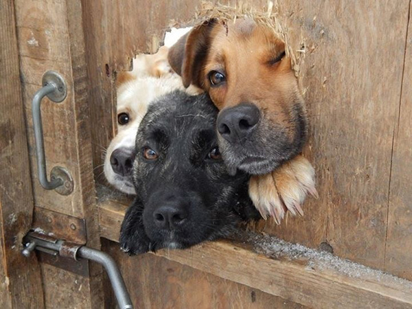 3 dogs looking through one hole in a fence