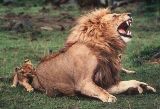 lion cub bites dad