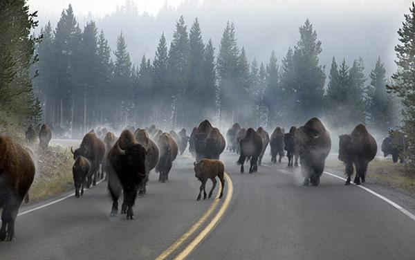 morning rush hour at yellowstone park