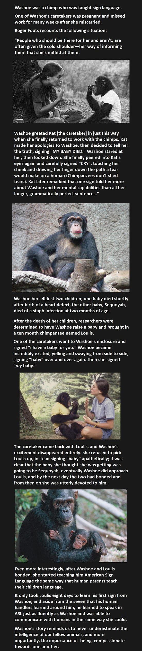 Washoe Chimp ASL