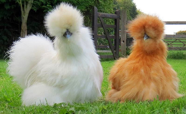 fluffy chickens