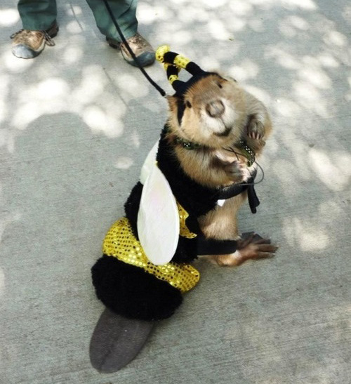 beaver in bee costume