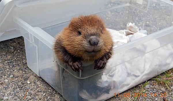 [Image: tsqkg-baby-beaver.jpg]