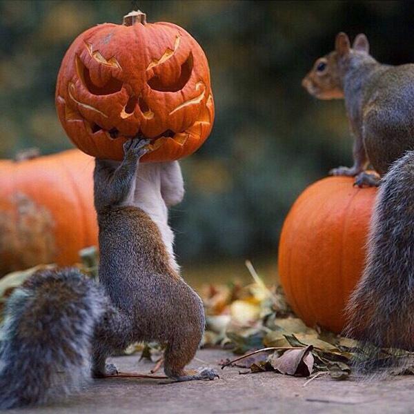 squirrel stealing a pumpkin