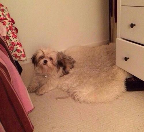 dog melting into  carpet