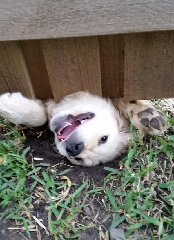 dog introduces himself under fence