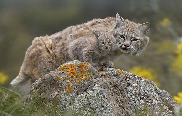 bobcat and kitten