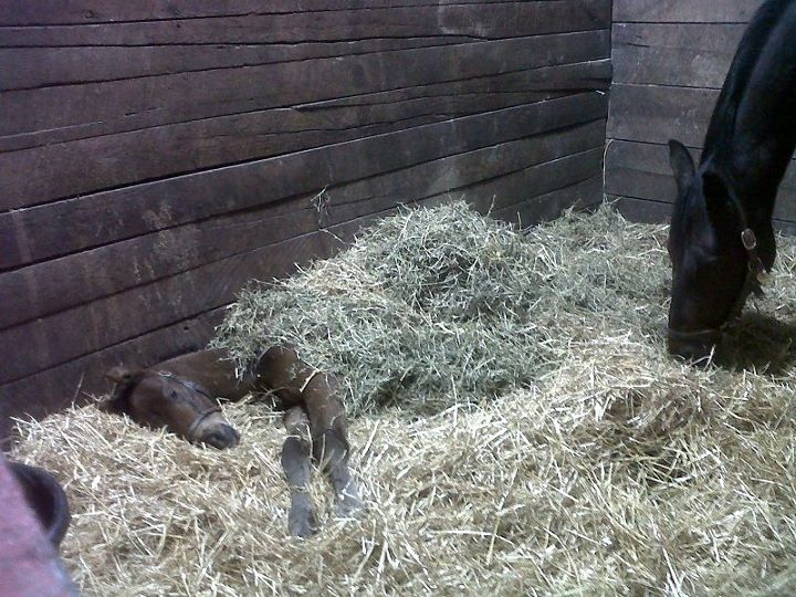 mom horse covers foal hay