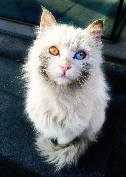 fire and ice cat eyes