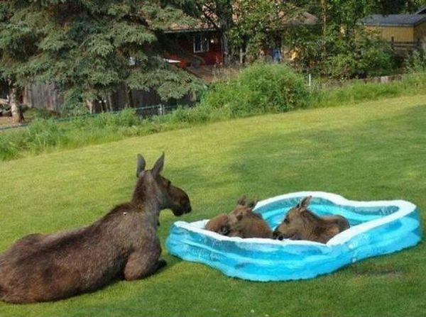 baby moose in kiddie pool
