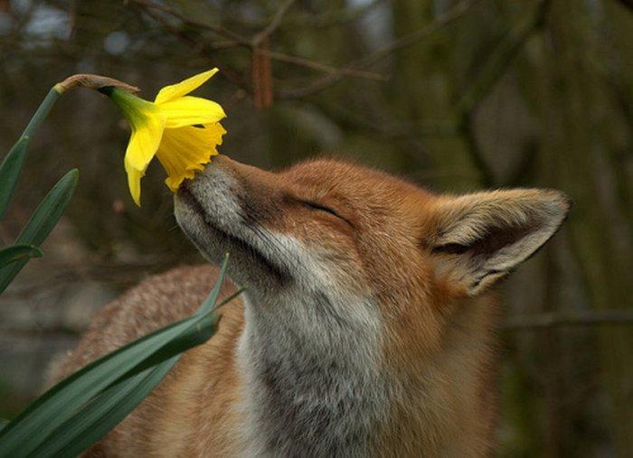 fox smelling flower
