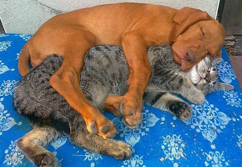 dog and cat spooning
