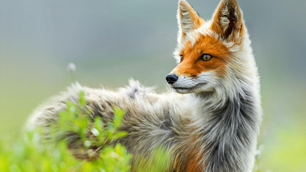 majestic fox