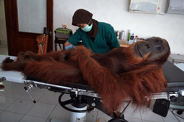Orangutan given human rights