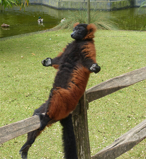 lemur meditating