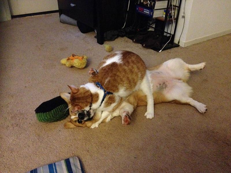 cat and corgi best friends