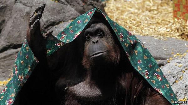 Orangutan free human rights