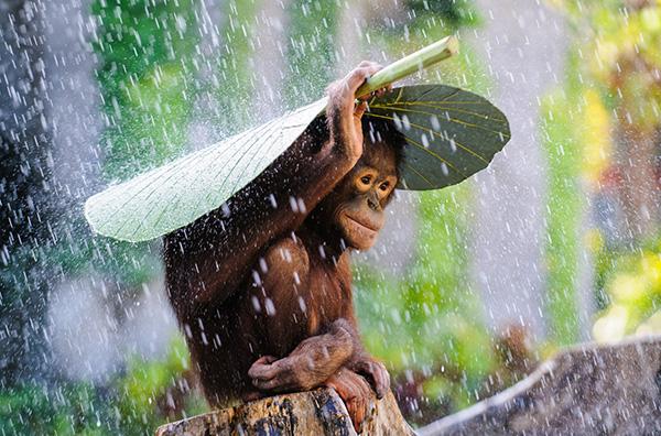orangutan rain