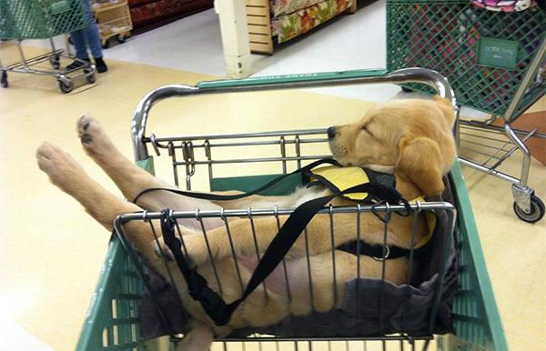 dog sleeping in cart