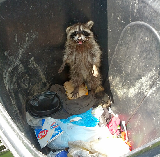 raccoon trash stealer
