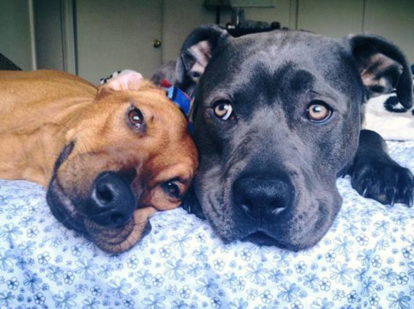 why pitbulls are good dogs
