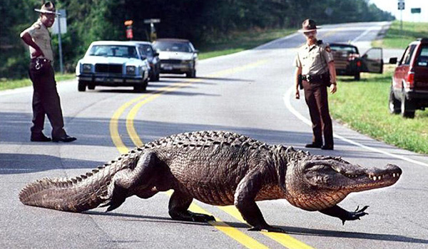 Alligator crossing highway with police escort
