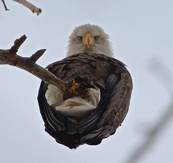 eagle from below
