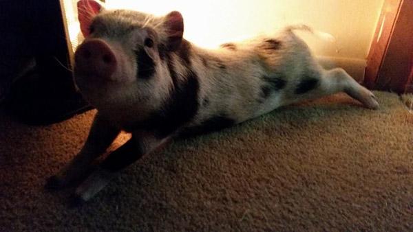 pig sliding down sidewalk on ice