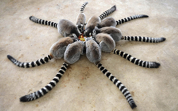 circle of ring tailed lemurs