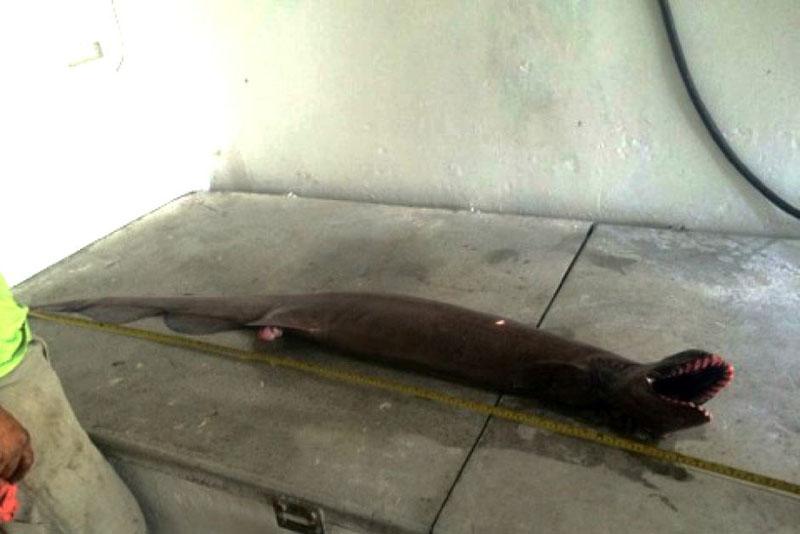 prehistoric shark caught australia