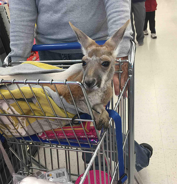 baby kangaroo in cart